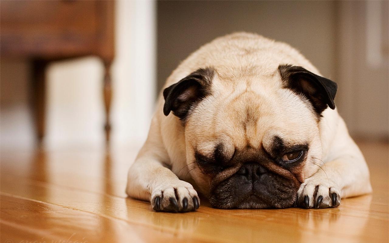 Editiadedimineata.ro: Primul câine din SUA care este testat pozitiv cu COVID-19